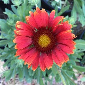 Arizona Red Shades Blanket Flower