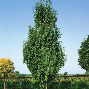 Armstrong Gold® Columnar Red Maple
