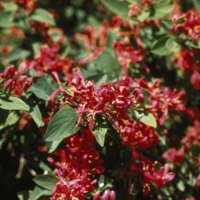 Arnold Red Honeysuckle