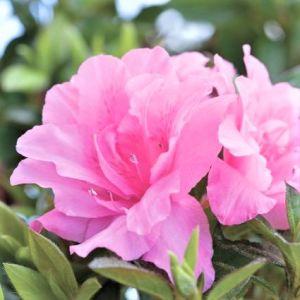 Autumn Carnation® Encore® Azalea