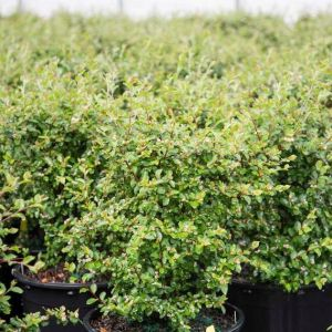 First Editions® Autumn Inferno® Cotoneaster