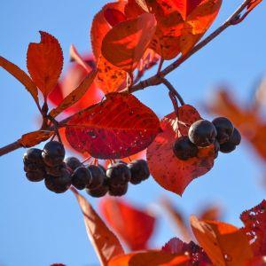 Autumn Magic Black Chokeberry