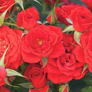Autumn Sunblaze® Miniature Rose