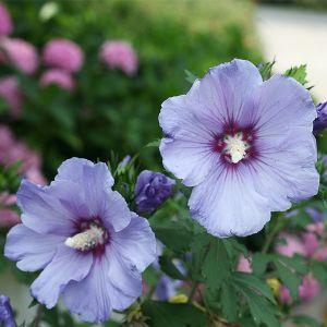 Azurri Blue Satin® Rose of Sharon Shrub