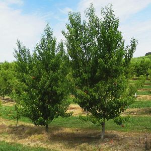 Baby Crawford Peach Tree