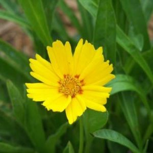Baby Sun Coreopsis
