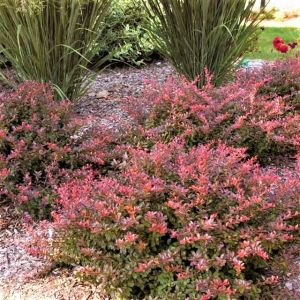 First Editions® Cabernet® Barberry