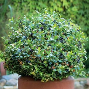 Bushel and Berry® Blueberry Glaze® Blueberry Bush