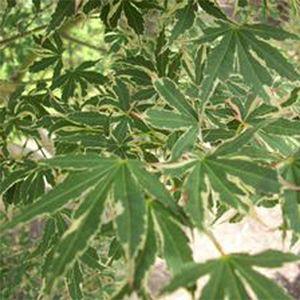 Beni Schichihenge Japanese Maple