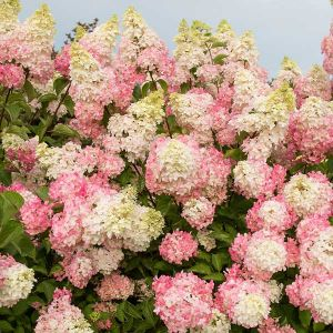 First Editions® Berry White® Hydrangea-Tree Form