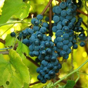 Beta Grape Plant