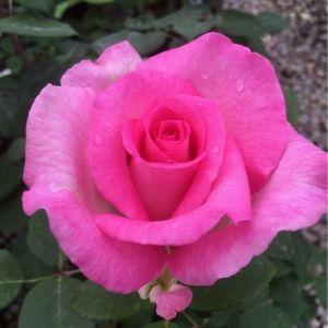 Beverly™ Eleganza® Hybrid Tea Rose