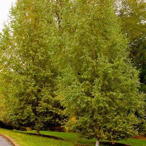 Dakota Pinnacle Birch