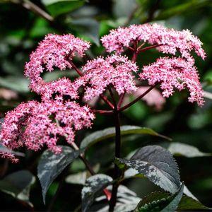 Black Beauty® Elderberry