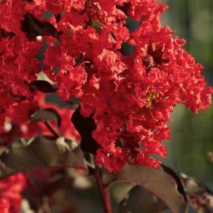 Black Diamond® Best Red™ Crape Myrtle Shrub
