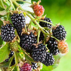 Black Satin Blackberry Bush