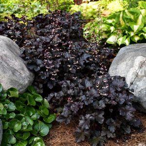 Primo® Black Pearl Coral Bells