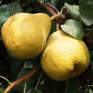 Blake's Pride European Pear Tree