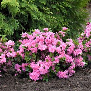 Bloom-A-Thon® Pink Double Reblooming Azalea