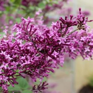 Bloomerang® Dark Purple Lilac Tree Form