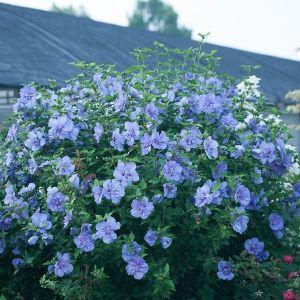 Blue Chiffon® Rose of Sharon Shrub