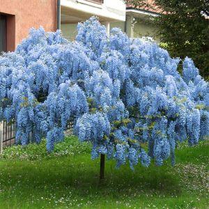 Blue Chinese Wisteria Tree
