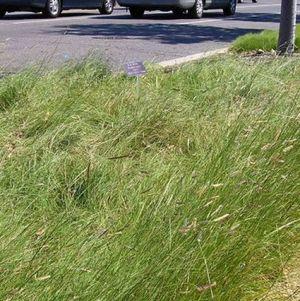 Blue Grama Grass Plugs