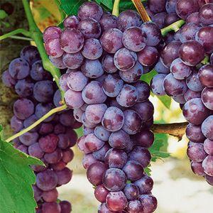 Bluebell Grape Vines