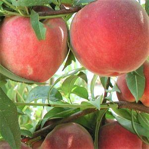 Blushing Pearl Columnar Peach Tree