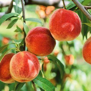 Bounty Peach Tree