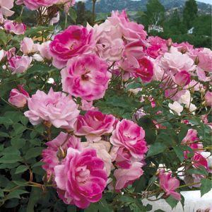 Brilliant Pink Iceberg Rose Tree