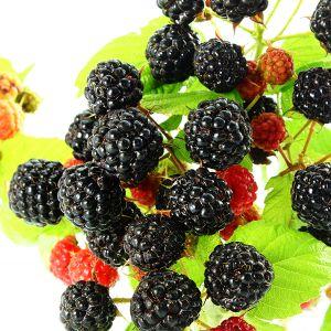 Bristol Black Raspberry Bush