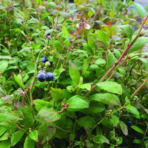 Brunswick Blueberry Bush