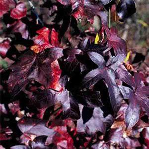 Burgundy Blush Sweetgum