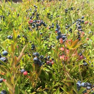 Burgundy Blueberry Bush