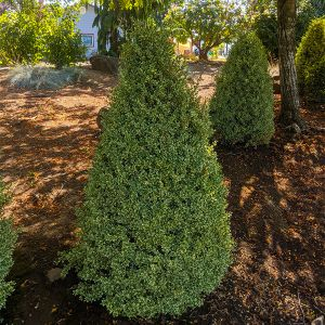 Variegated Boxwood Cone Topiary