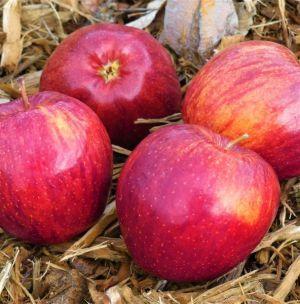 Cameo Apple Tree