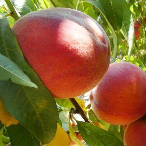 Canadian Harmony Peach Tree