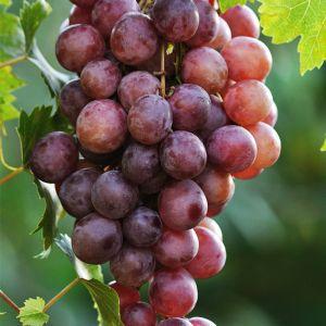 Canadice Grape Vine