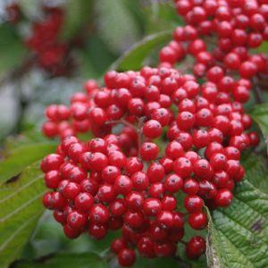 Cardinal Candy® Viburnum