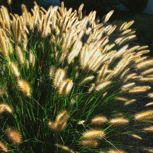 Cassian Dwarf Fountain Grass