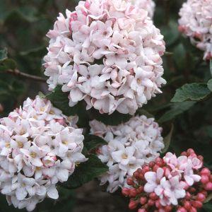 Cayuga Viburnum