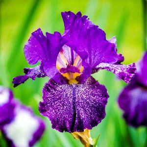 Celestial Explosion Tall Bearded Iris
