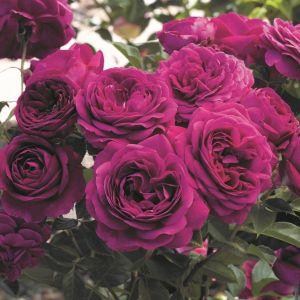 Celestial Night™ Rose