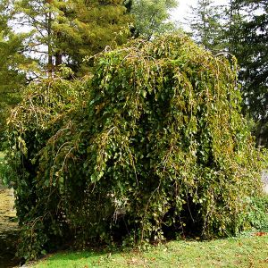 Chaparral Weeping Mulberry