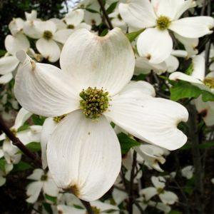 Cherokee Princess Flowering Dogwood