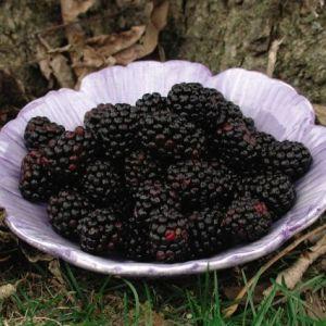 Chester Thornless Blackberry Bush
