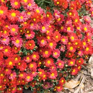 Mammoth™ Red Daisy Garden Mum
