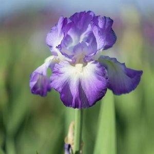 City Lights Tall Bearded Iris