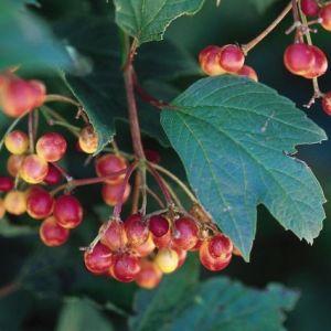 Compact American Cranberrybush Bush